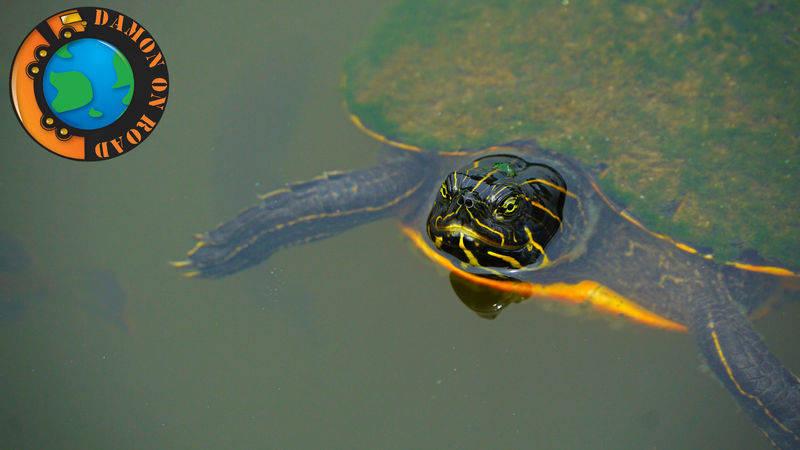 Turtle Big Daddy's Gril, Alabama