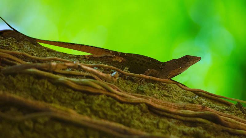 Lizard Mulburry Florida