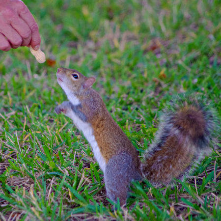 squirrel Fort Denaud, La Belle Florida