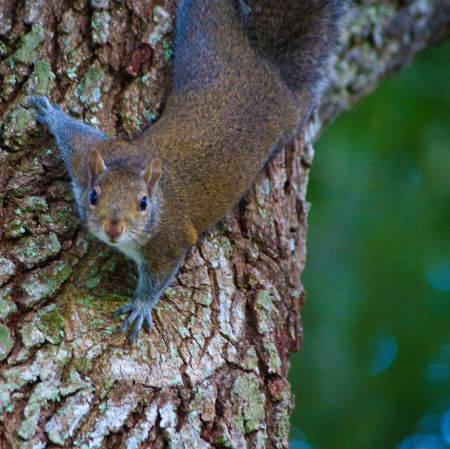 squirrel Fort Denaud  La Belle Florida