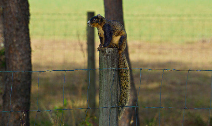 Fox squirrel Morriston, Florida